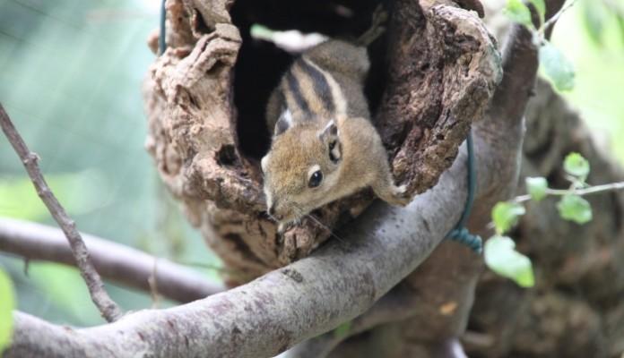 Baumstreifenhörnchen16-04
