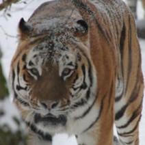 """Tiger """"Jelzin"""" verstorben"""