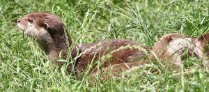 otter flach