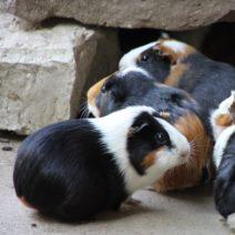 meerschweinchen_15_01