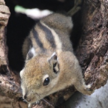 baumstreifenhörnchen16-01