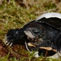 Bedrohte Schildkröten kehren zurück
