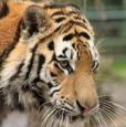 "Tiger ""Akuma"""