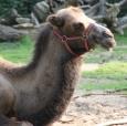 """Kamel """"Aladin"""""""